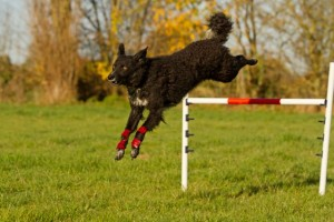 Pip jumping at agility