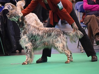 Show dogs can improve their performance with canine massage Therapy